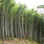 En Usuki was ook een bamboebos, waar het aangenaam lopen was en waar ik ooknog 2 wilde varkens rond zag lopen. :)