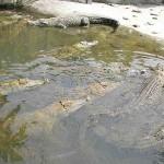 En bij weer een andere hel gebruiken ze de warmte om krokodillen te kweken...