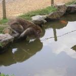 Maar na alle tempels en Shinto heiligdommen wil je wel iets anders zien. Dus dan maar aapjes kijken. En ook de apen hebben het warm...