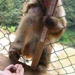 En in Arashiyama kan je ook je aapjes voeren, en hier moeten de mensen dus in een kooi om de apen te kunnen voeren. :)
